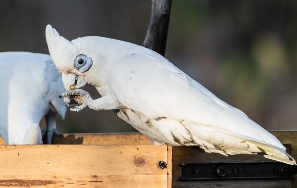 ▲▼鳳頭鸚鵡,白鸚鵡,鳥,白鳥,Corella,cockatoo。(圖/取自免費圖庫pixabay)
