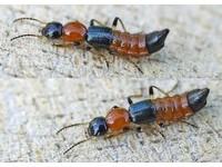 碰上隱翅蟲應盡速就醫治療!拍死會造成皮膚潰爛