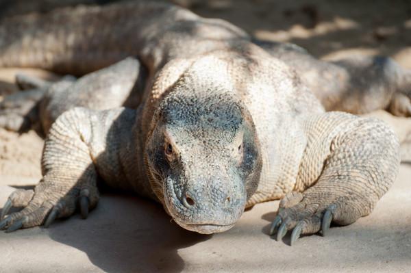 科摩多龍(Komodo dragon)獲聯合國教科文組織列為世界遺產。(圖/達志影像)