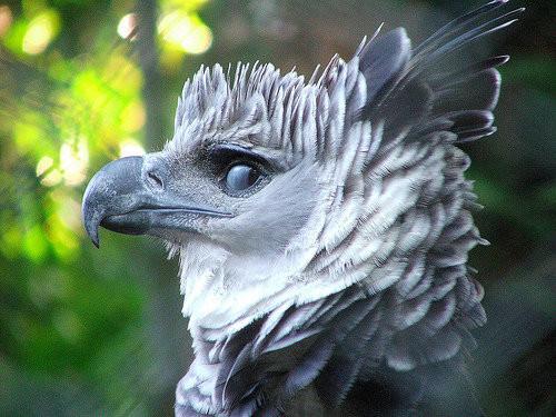Ettoday - Harpy eagle hd wallpaper ...