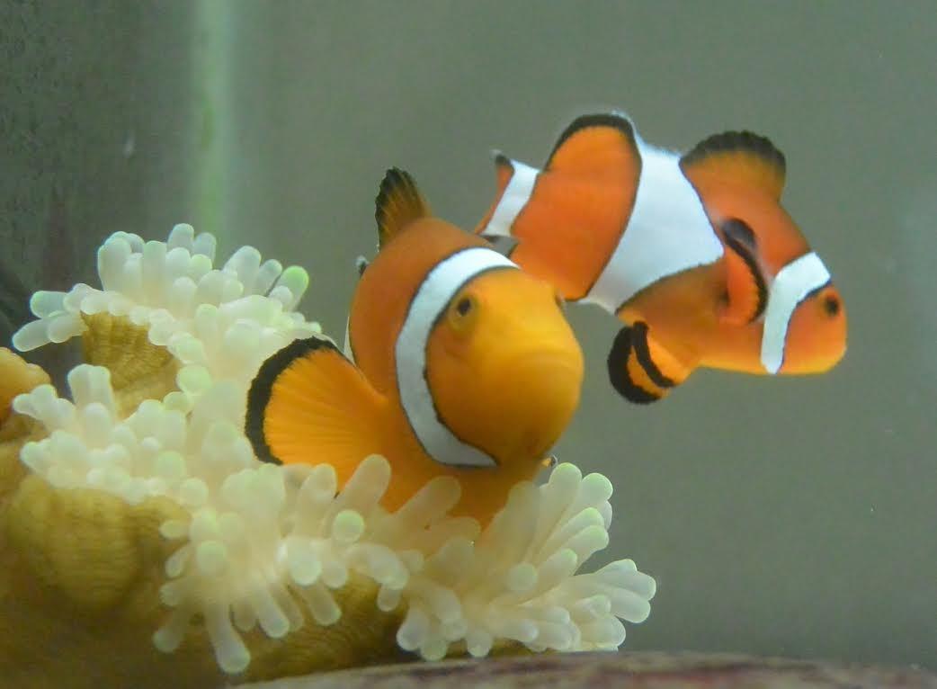 小丑魚夫妻(成魚)。(圖/屏東海生館)